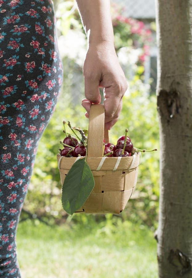 Vrouw het plukken kersen in de tuin stock fotografie