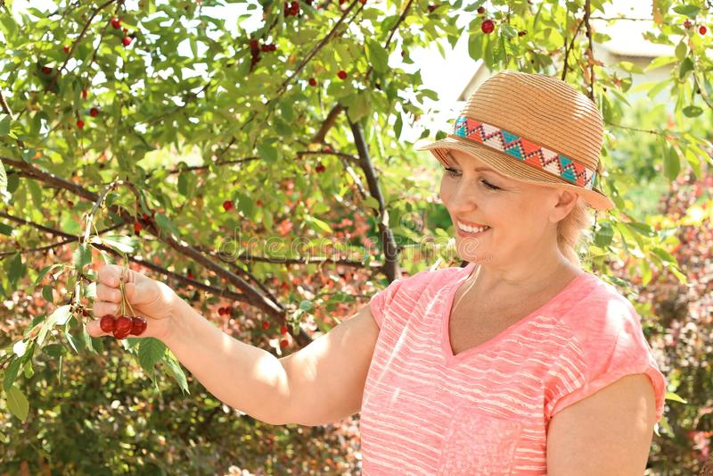 Vrouw het plukken kersen in tuin op zonnige dag stock fotografie