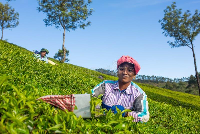 Vrouw het plukken theebladen in een theeaanplanting rond Munnar, Kerala stock foto