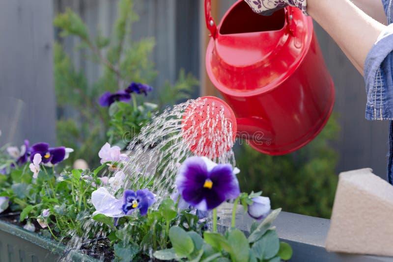 Vrouw het water geven viooltjebloemen op haar tuin van het stadsbalkon Stedelijk het tuinieren concept royalty-vrije stock foto