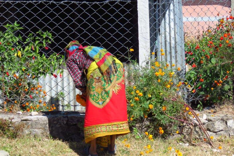 Vrouw in kleurrijke kleding het plukken goudsbloembloemen, Num, Nepal royalty-vrije stock foto's