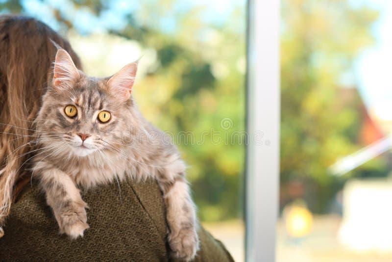 Vrouw met aanbiddelijke Maine Coon-kat thuis, close-up stock foto