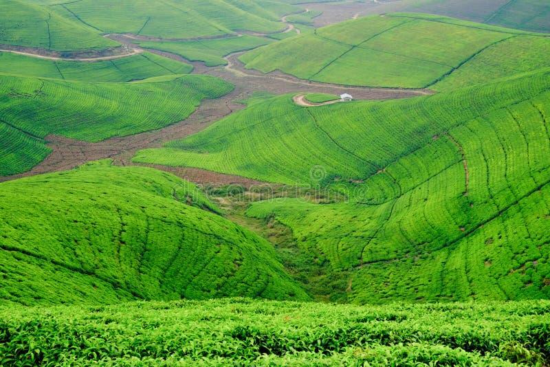 Vrouw/toerist die door het gebied van de theeaanplanting in Rwanda, Af lopen royalty-vrije stock fotografie