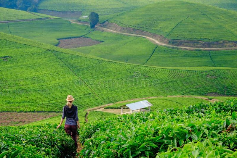 Vrouw/toerist die door het gebied van de theeaanplanting in Rwanda, Af lopen stock foto