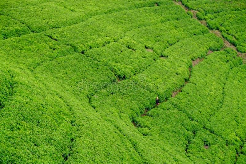 Vrouw/toerist die door het gebied van de theeaanplanting in Rwanda, Af lopen royalty-vrije stock foto's