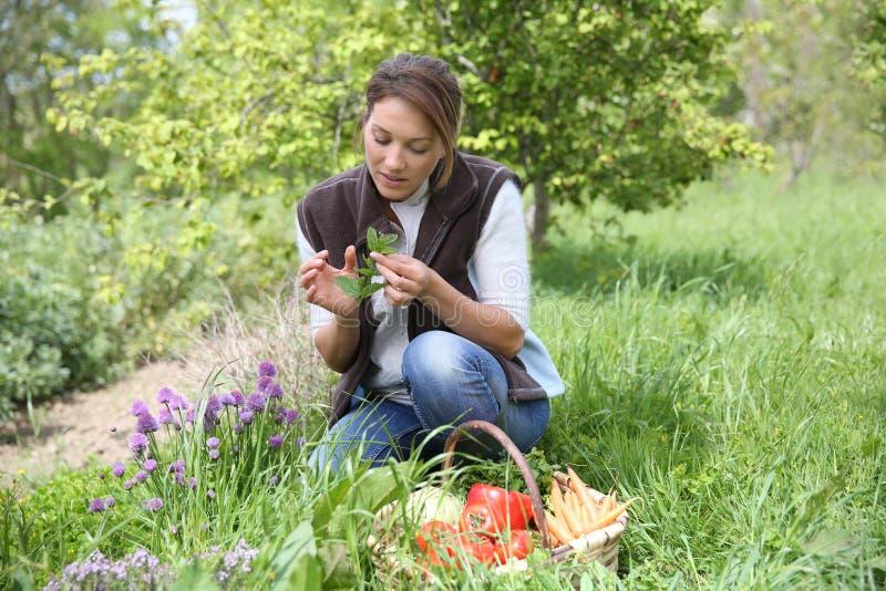 Vrouw in tuin die verse kruiden verzamelen royalty-vrije stock afbeeldingen