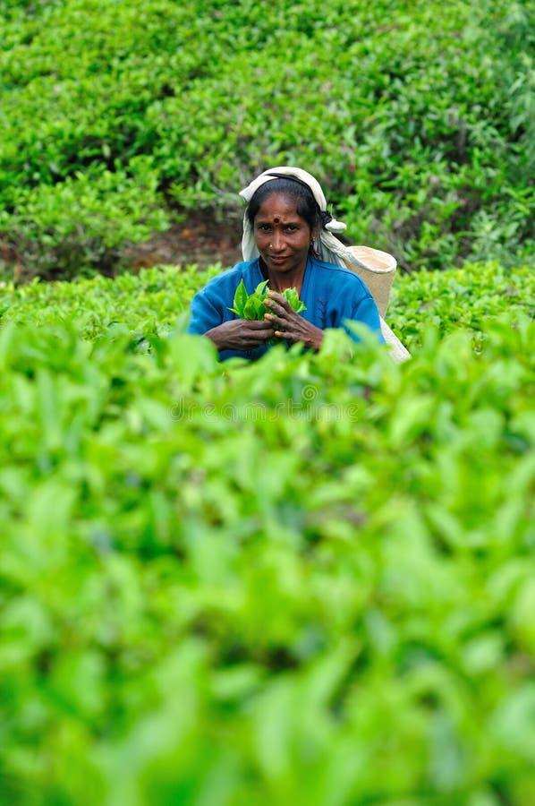 Vrouw van de oogsten van Sri Lanka in theeblaadjes. royalty-vrije stock afbeeldingen