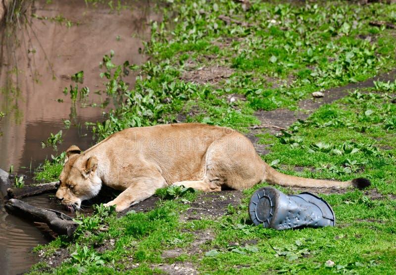 Vrouwelijk Afrikaans Lion Drinking Water royalty-vrije stock foto