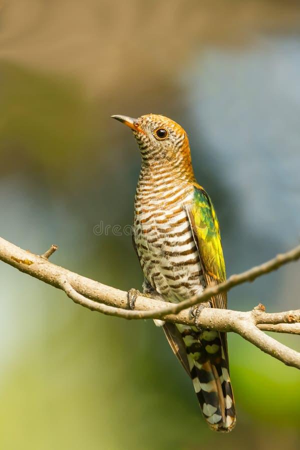 Vrouwelijk Aziatisch Emerald Cuckoo stock afbeelding