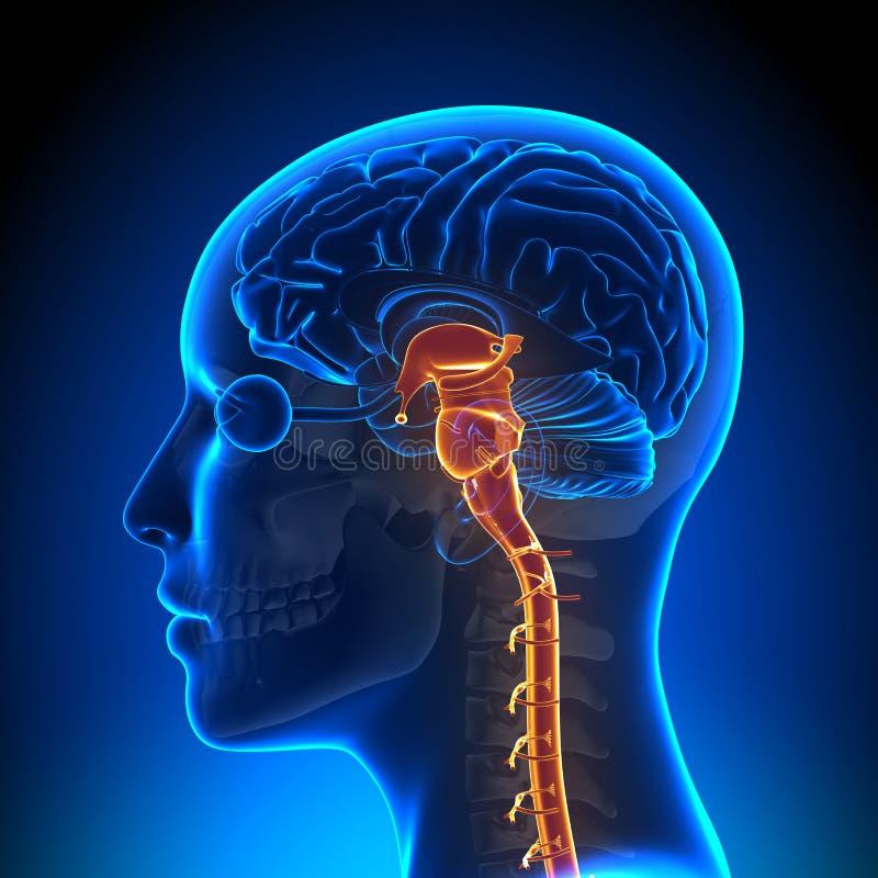 Vrouwelijk Brain Stem met Zenuwen - Anatomiehersenen vector illustratie