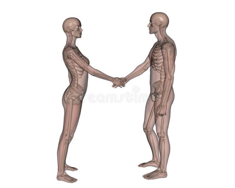 Vrouwelijk en Mannelijk skelet stock illustratie