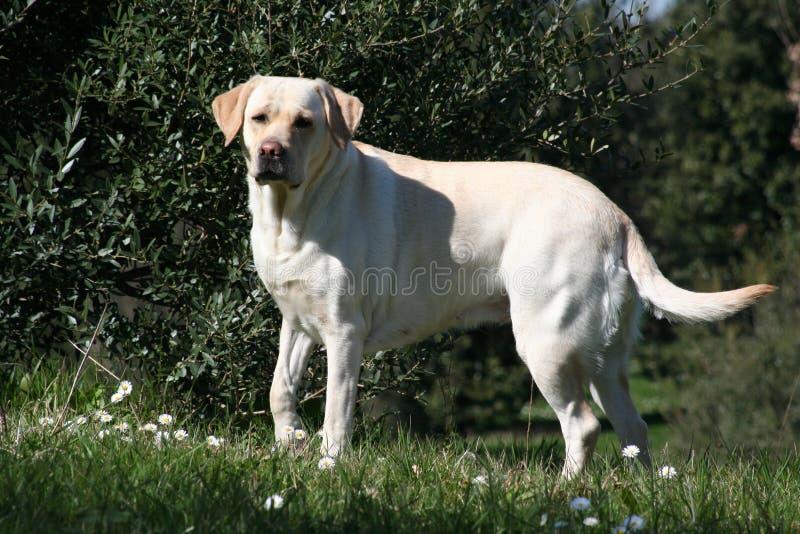 Vrouwelijk Labrador - Openlucht 02 royalty-vrije stock afbeeldingen