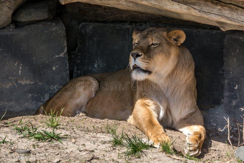 Vrouwelijk Lion Found Some Shadow aan Rust van de de Zomerzon royalty-vrije stock fotografie
