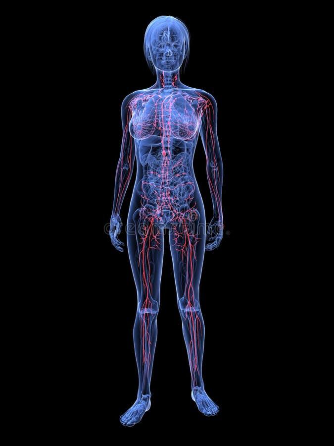 Vrouwelijk lymfatisch systeem stock illustratie