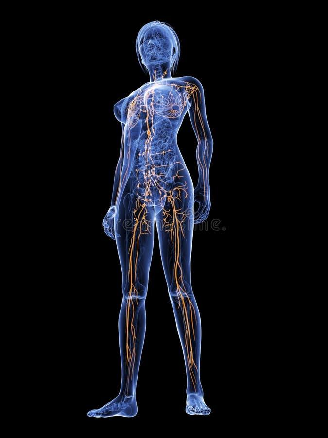 Vrouwelijk lymfatisch systeem vector illustratie