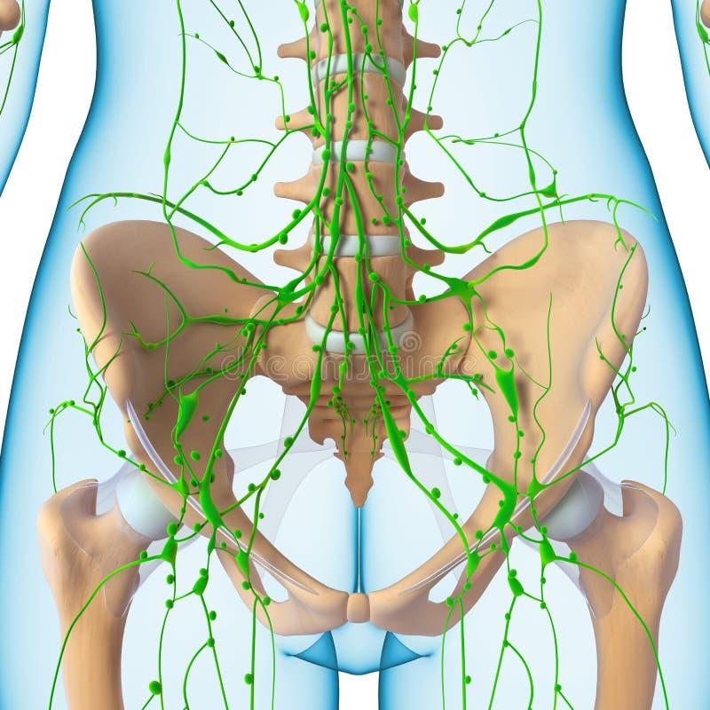 Vrouwelijk Lymfatisch systeem van half lichaam vector illustratie