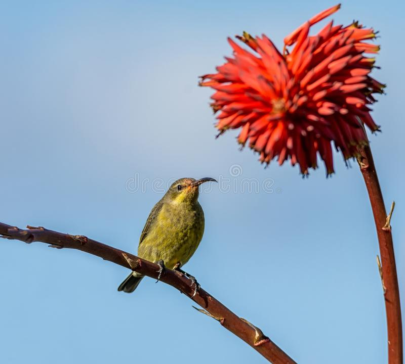 Vrouwelijk Malachiet Sunbird royalty-vrije stock afbeeldingen