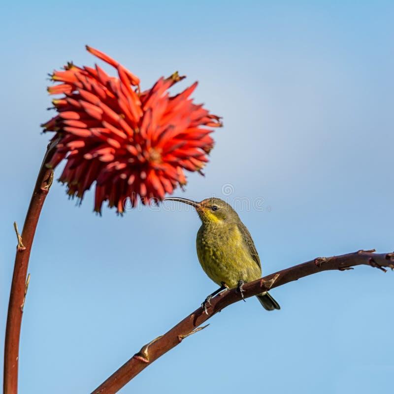 Vrouwelijk Malachiet Sunbird stock foto
