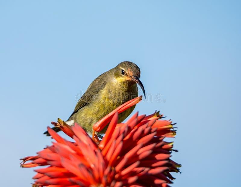 Vrouwelijk Malachiet Sunbird stock foto's