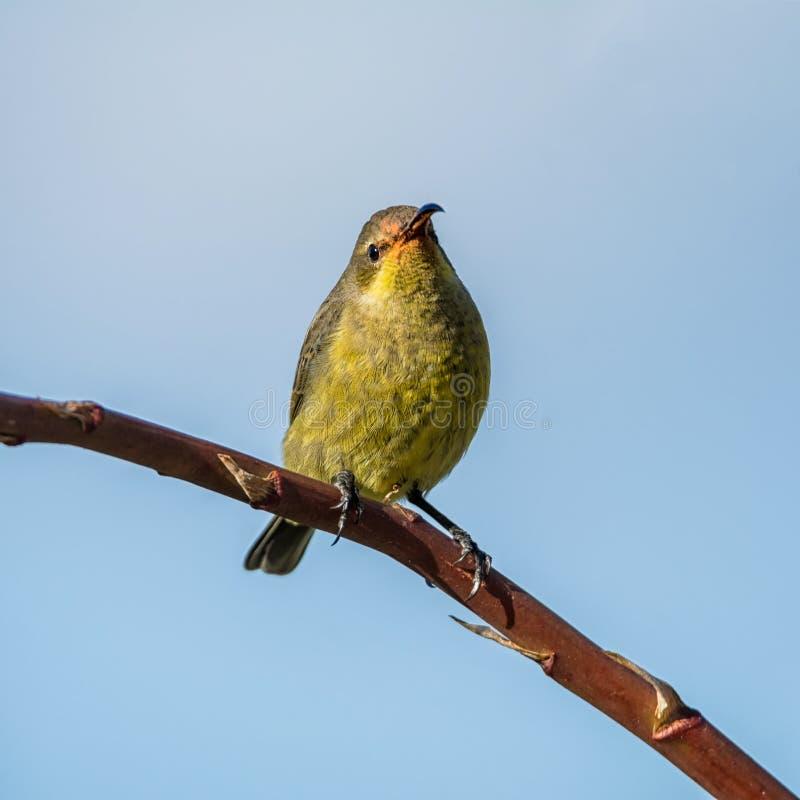 Vrouwelijk Malachiet Sunbird royalty-vrije stock foto