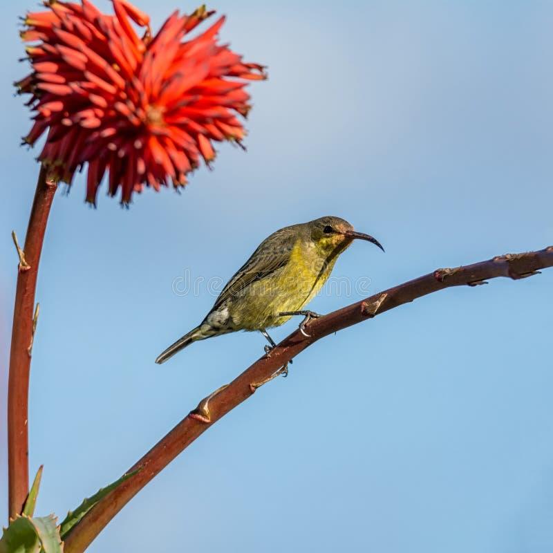Vrouwelijk Malachiet Sunbird stock fotografie