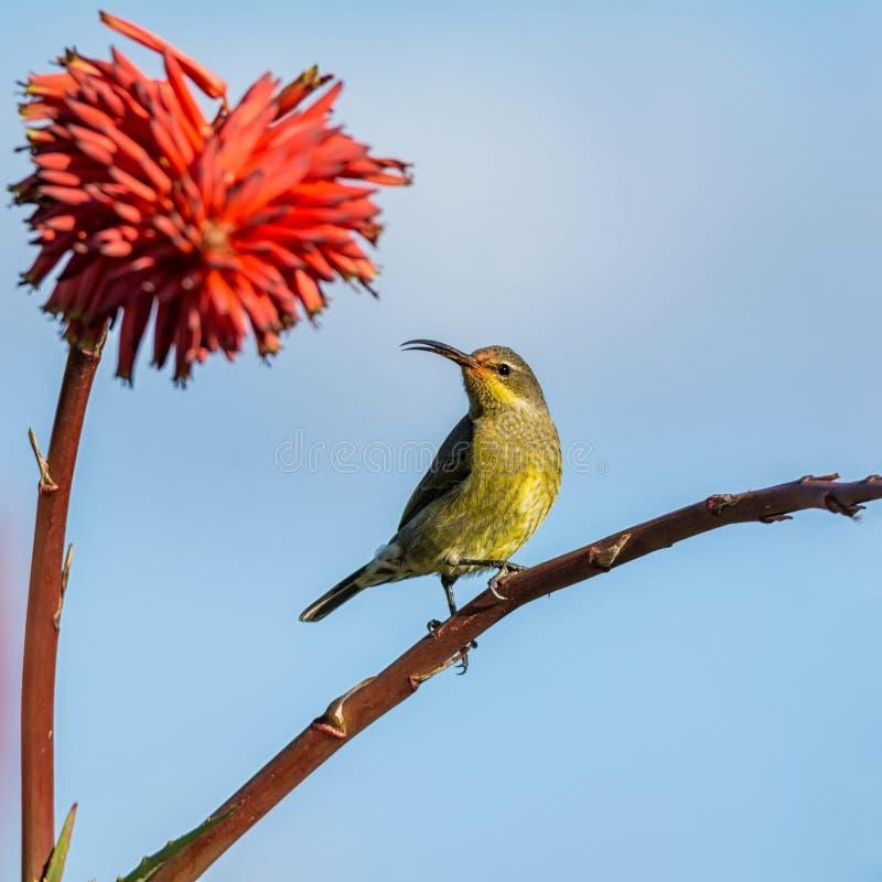 Vrouwelijk Malachiet Sunbird royalty-vrije stock foto's