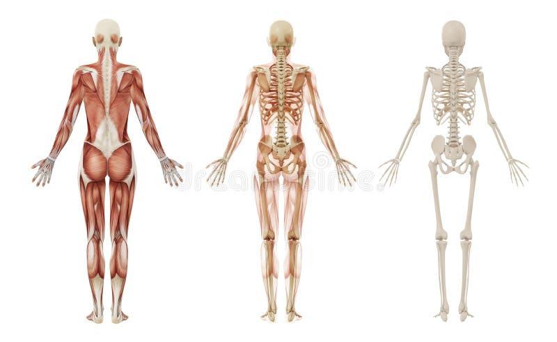 Vrouwelijk menselijk spieren en skelet royalty-vrije illustratie