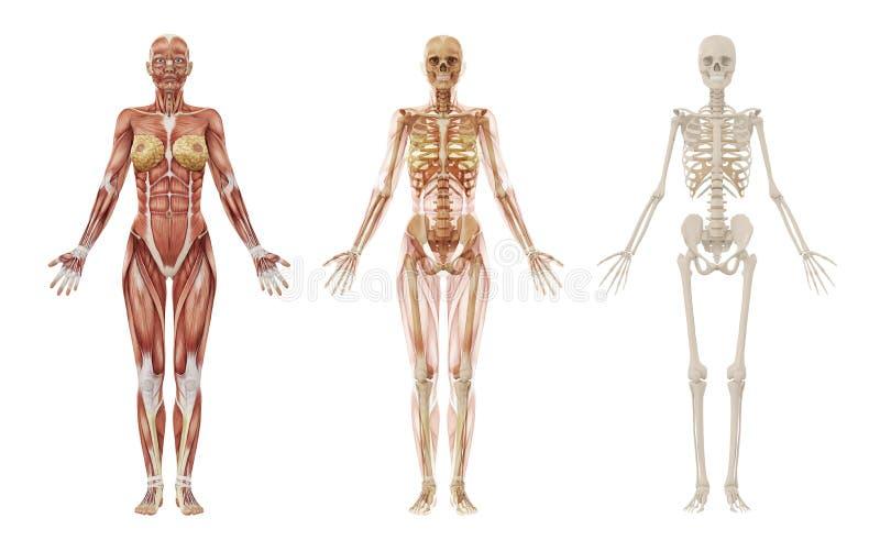 Vrouwelijk menselijk spieren en skelet stock illustratie