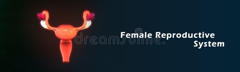 Vrouwelijk Reproductief Systeem royalty-vrije illustratie