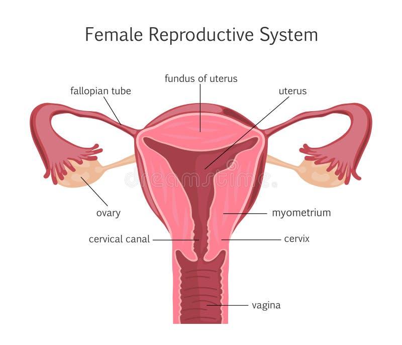 Vrouwelijk Reproductief Systeem stock illustratie