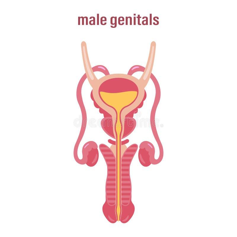 Vrouwelijk Reproductief Systeem Genitaliën Vector illustratie op witte achtergrond stock illustratie