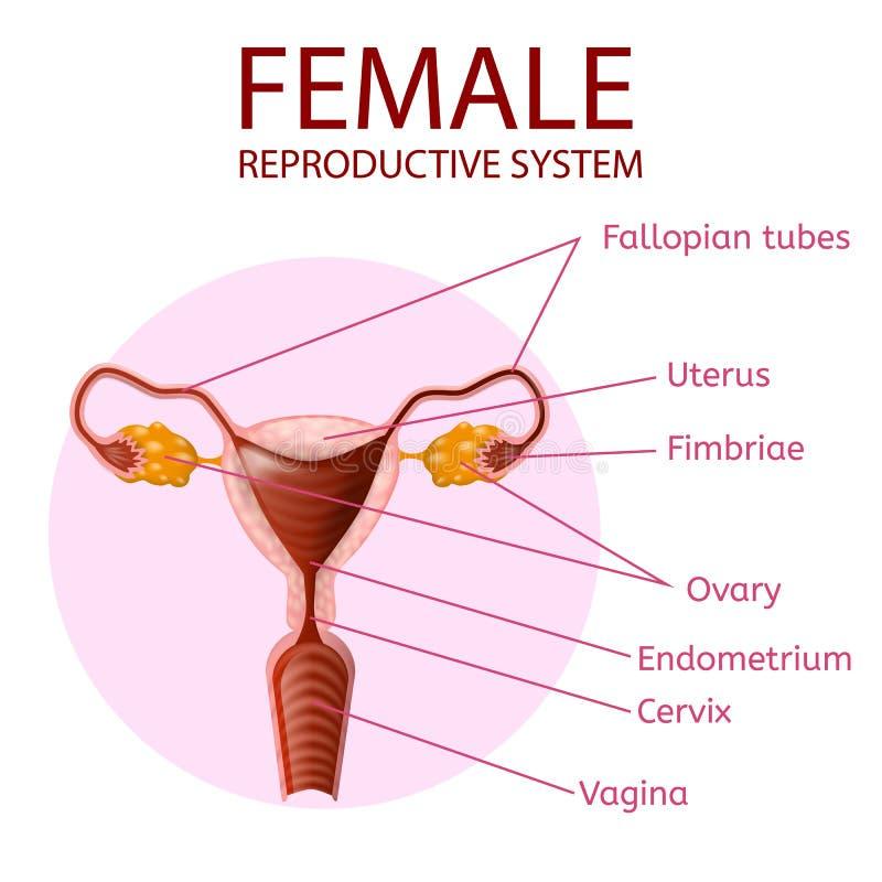 Vrouwelijk Reproductief Systeem Menselijke Anatomiebanner royalty-vrije illustratie