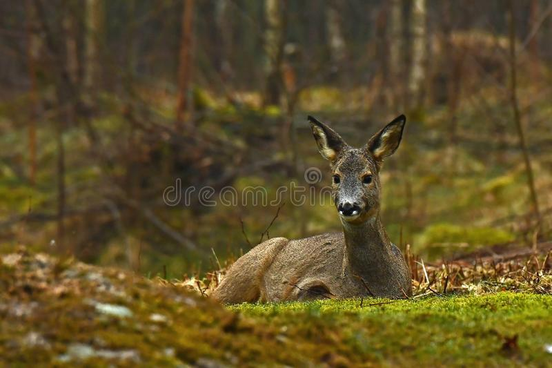 Vrouwelijk Roe Deer, Capreolus-capreolus ligt in rust een vroege ochtend stock fotografie