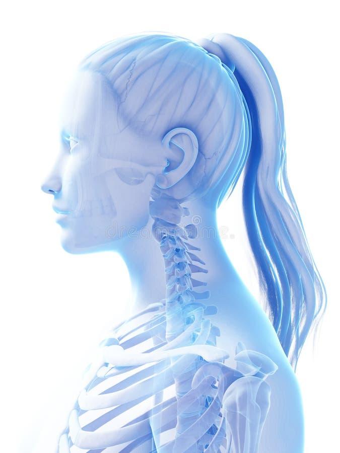 Vrouwelijk skelet royalty-vrije illustratie