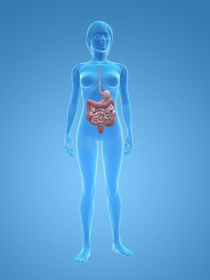 Vrouwelijk spijsverteringssysteem vector illustratie