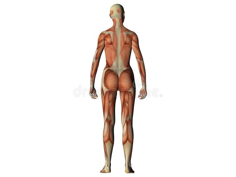 Vrouwelijk torso dat spieren toont vector illustratie