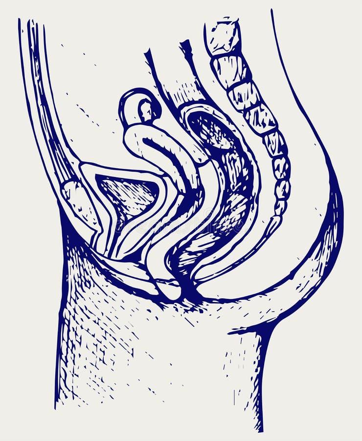 Vrouwelijk urinesysteem royalty-vrije illustratie