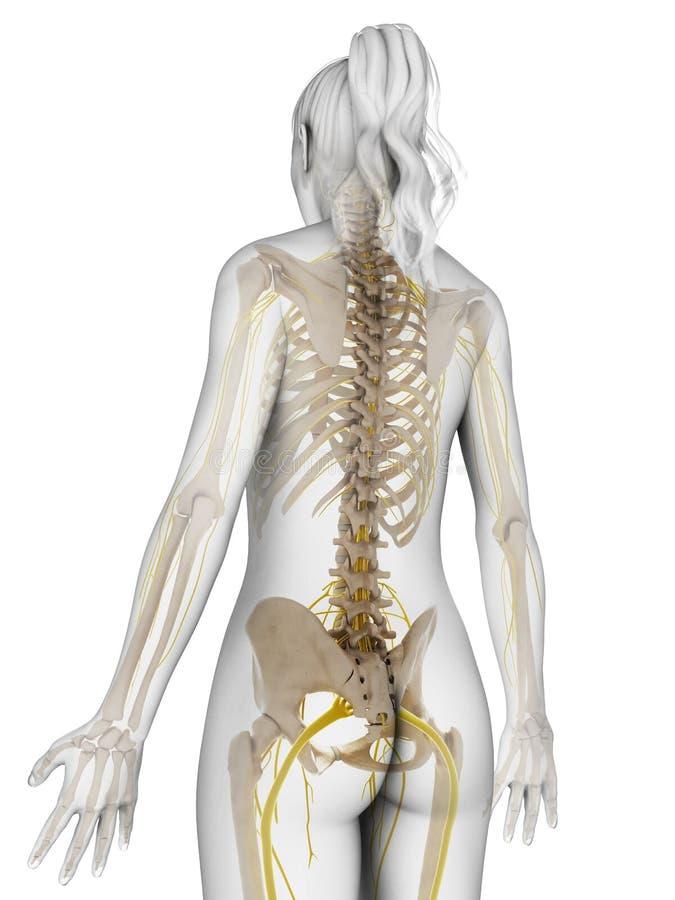 Vrouwelijk zenuwstelsel stock illustratie
