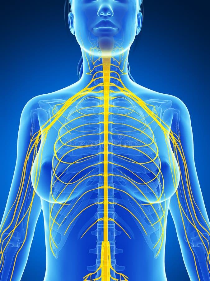 Vrouwelijk zenuwstelsel vector illustratie
