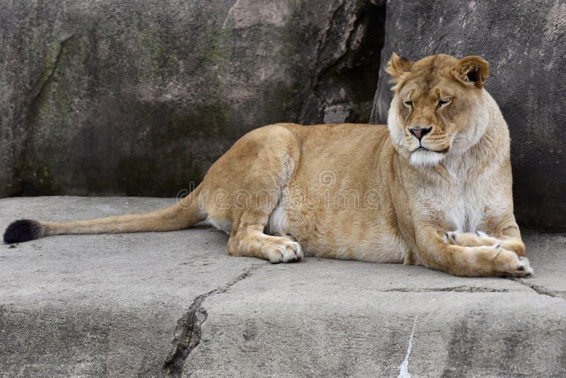 Vrouwelijke Afrikaanse Leeuw stock afbeeldingen