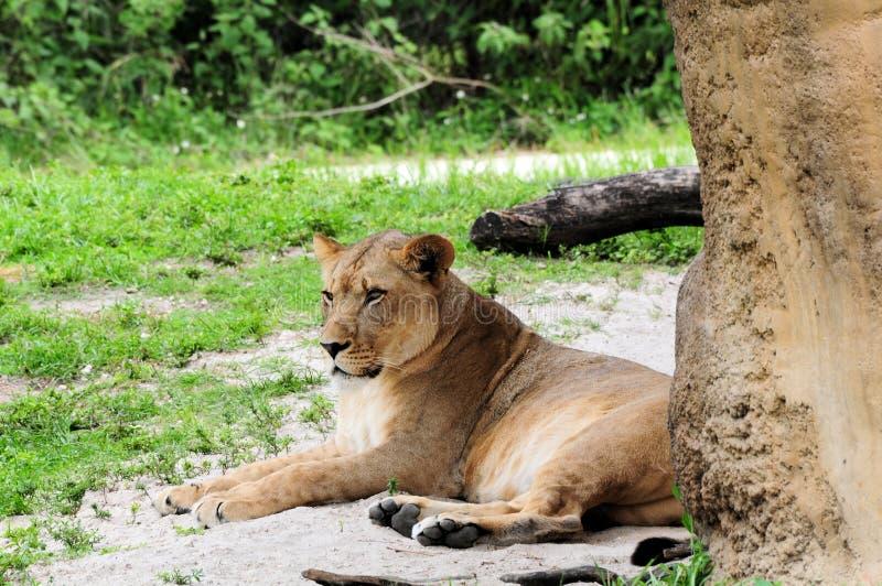 Vrouwelijke Afrikaanse leeuw royalty-vrije stock afbeelding