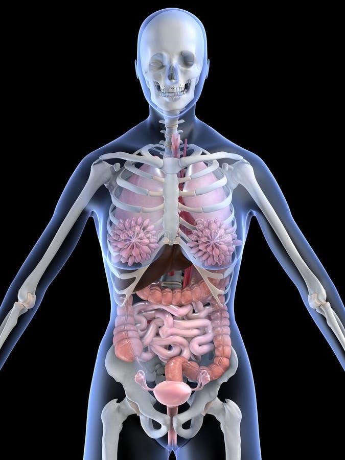 Vrouwelijke anatomie vector illustratie