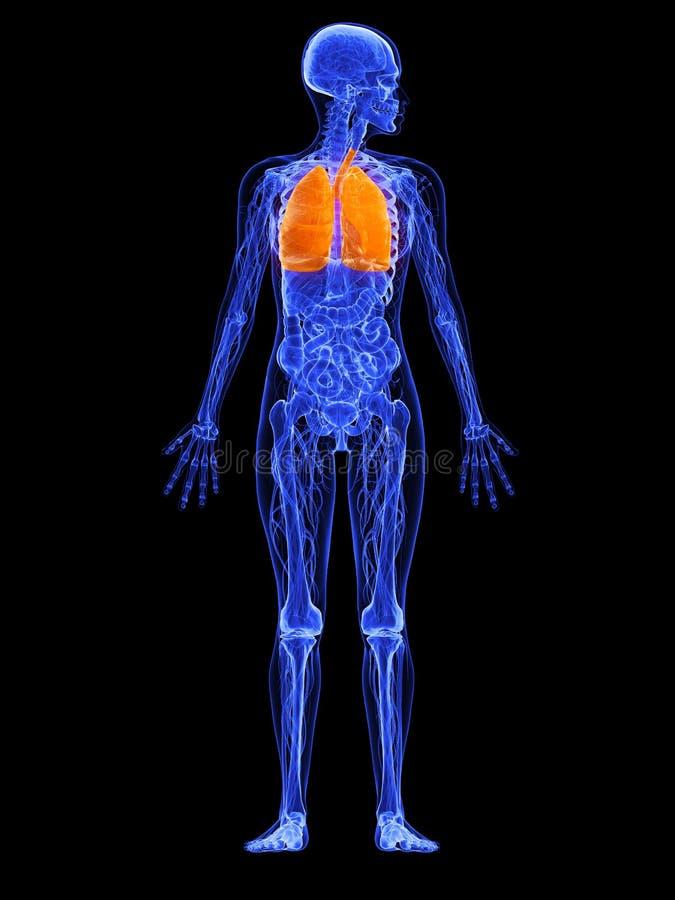 Vrouwelijke anatomie - long vector illustratie