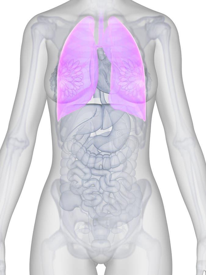 Vrouwelijke anatomie - long stock illustratie