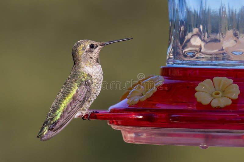 Vrouwelijke Anna ` s Kolibrie royalty-vrije stock afbeeldingen