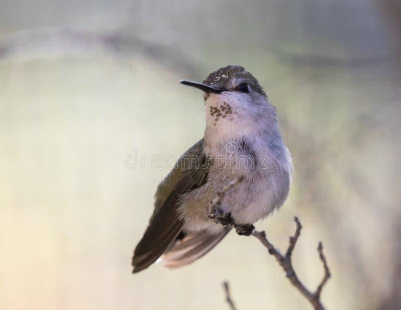 Vrouwelijke Anna ` s Kolibrie stock afbeelding