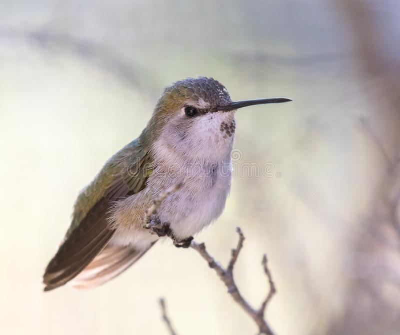 Vrouwelijke Anna ` s Kolibrie stock fotografie