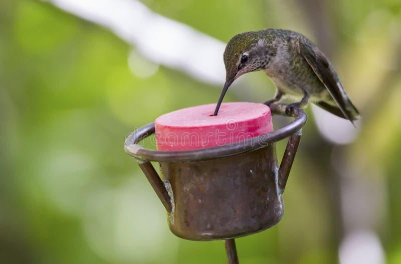 Vrouwelijke Anna ` s kolibrie bij een voeder royalty-vrije stock afbeelding