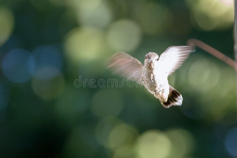 Vrouwelijke Anna ` s Kolibrie tijdens de vlucht stock afbeeldingen