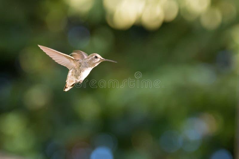 Vrouwelijke Anna ` s Kolibrie tijdens de vlucht royalty-vrije stock afbeelding